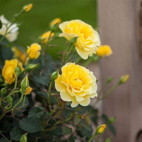 rose easy elegance yellow submarine white flower farm