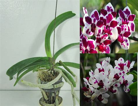 Potted Rhynchostylis Gigantea Var.cartoon Orchid Plant