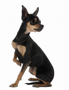 Short Haired Small Dogs Breeds For Those That Hate To Groom