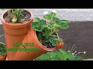 Erdbeeren Im Rohr Bauanleitung : erdbeeren zierde und genuss youtube ~ Orissabook.com Haus und Dekorationen