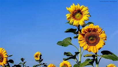 1080px 1920 Sonnenblumen Stilkunst Feld Dem Sonnenblume