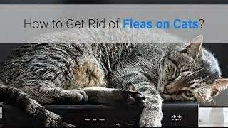 how to get rid of cat fleas fleas cats home remedies alot