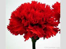 National Flower Of Spain Red Carnation 123Countriescom