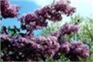 Hibiskus Wann Zurückschneiden : schmetterlingsstrauch schneiden anleitung ~ Lizthompson.info Haus und Dekorationen