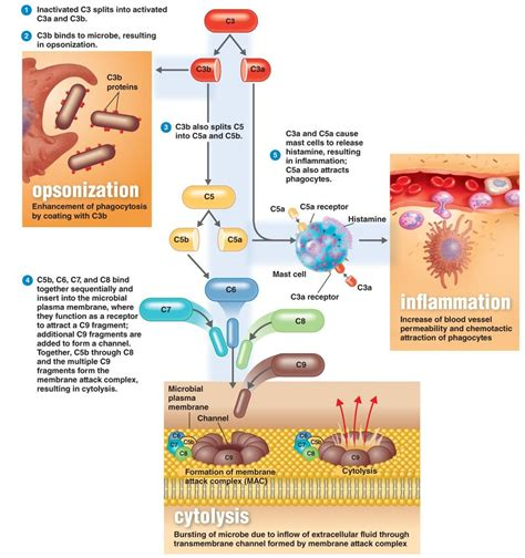 Hamil Muda Remix Mp3 Complement System Wikipedia
