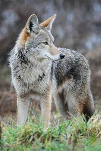 cat for michigan coyote