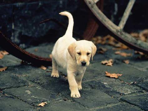 un petit chien dans la rue photo labrador chiot labrador dans une rue pav 233 e labrador