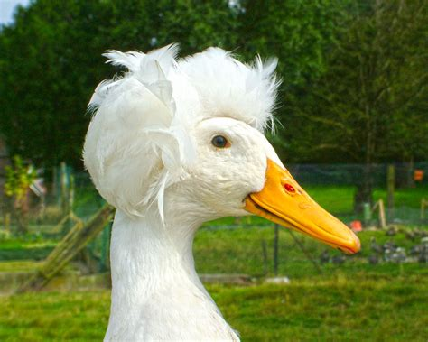 Canard pompon blanc : la Ferme de Beaumont, Canards de Surface