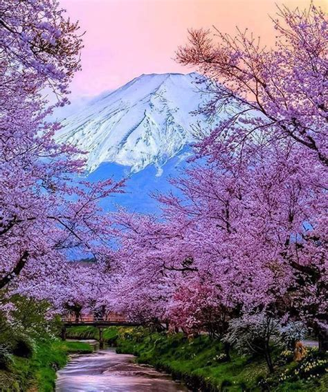 17 best images about cheery 17 best images about cherry blossoms on cherry