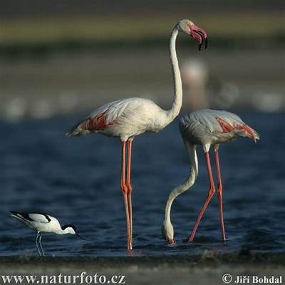 Phoenicopterus ruber Pictures Images