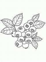 Coloring Blueberry Bush Fruit Drawing Kolorowanki Jagoda Nature Dzieci Dla Colouring Easy Colorare Tattoo Mirtillo Popular Disegni Embroidery Painting Google sketch template