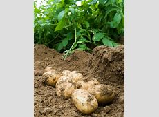 backyard potatoes 28 images green giant steamers