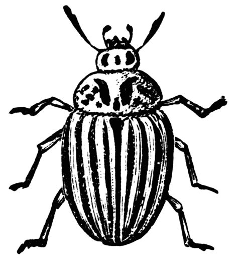 beetle clipart black and white colorado potato beetle clipart etc