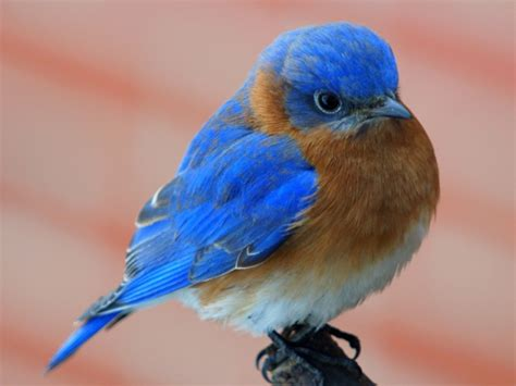 can you name 12 official us state birds quizpug