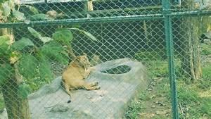 Lion and Tiger Safari in Sanjay Gandhi National Park ...