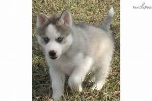The gallery for --> Gray And White Husky Puppies