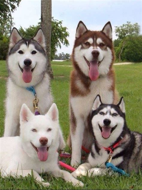 husky coat colors 17 images about siberian huskies my true on