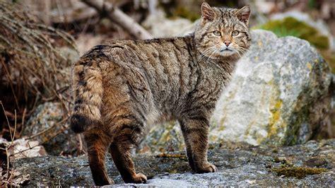 Wild Cat Wallpapers ·①