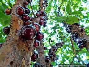 Jabuticaba Fruit Tree