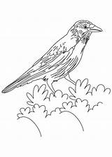 Crow Coloring American Pages Crows Printable Flicker Drawing Hawk Colouring Northern Bird Tailed Bestcoloringpages Sketch Tattoo Designlooter Birds Von Animals sketch template
