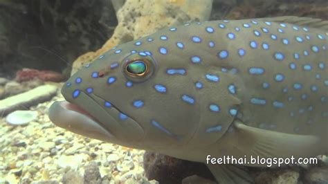 grouper spotted