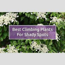 Shade Garden The Best Climbing Plants For Shady Garden
