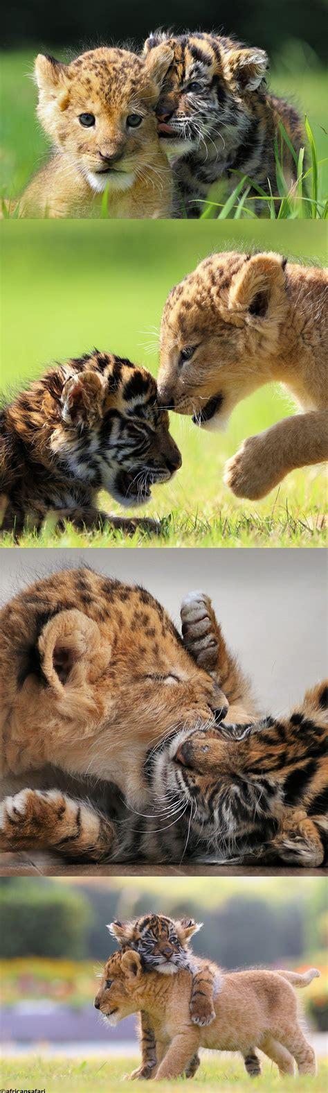 ensemble canape un bébé tigre et un lionceau amis pour la vie