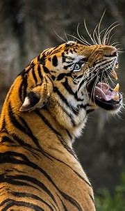 Tiger Cat Big - Free photo on Pixabay