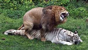Lion vs Tiger Real Fight in Jungle http://www.hangovernews ...