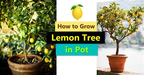 grow  lemon tree  pot care  growing