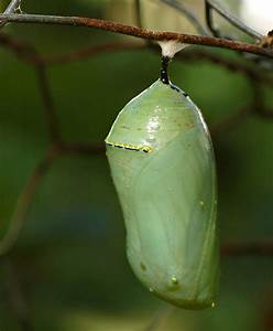 7 Monarch Butterfly Pupa Photos in Butterfly - Biological ...