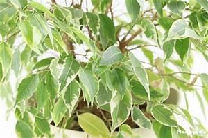 Comment Tailler Un Ficus : ficus conseils entretien arrosage taille blog ~ Melissatoandfro.com Idées de Décoration