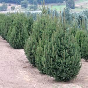 Dwarf Norway Spruce Tree
