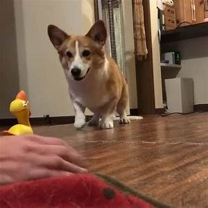 Corgi Excited to Play with Owner | Jukin Media Inc