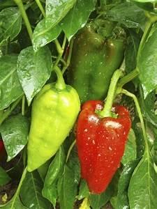 Tomaten In Der Wohnung : gem se f r balkon welche pflanzen sie wie anbauen k nnen ~ Lizthompson.info Haus und Dekorationen