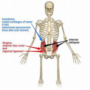 External And Internal Oblique Muscles