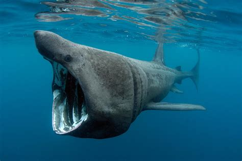 meet the man who hangs out with basking sharks