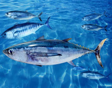 tuna fish albacore tuna tuna fish pinterest