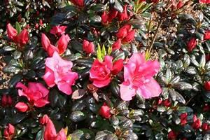 Pflanzen Für Japanischen Garten : pflanzen f r japangarten neue garten pflanzen f r einen ~ Lizthompson.info Haus und Dekorationen