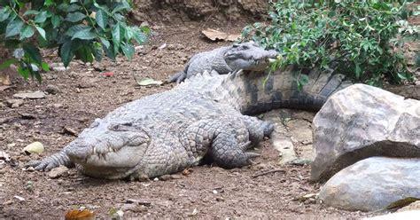 File:Buaya Irian Crocodylus novaeguineae Bandung Zoo.JPG ...