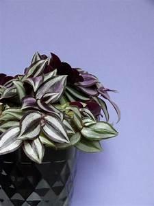 Pflanze Lila Blätter : zebrakraut die h bschen bl tter dieser aus mexiko stammenden pflanze gl nzen silber und violett ~ Eleganceandgraceweddings.com Haus und Dekorationen