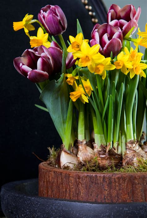 How To Bulbs Gorgeous Indoor Bloom And Color how to bulbs for gorgeous indoor bloom and color