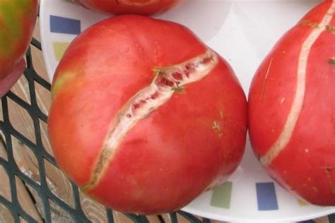 http://thecountrybasket.com/growing-tomatoes-part-3-common-problems-fixes/