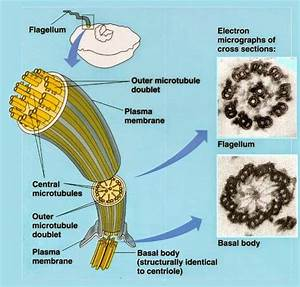 Major Differences  Difference Between Prokaryotic And
