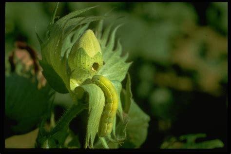 https://texasinsects.tamu.edu/lepidoptera/beet-armyworm/