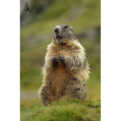 1000  images about Meerkats Prairie Dogs Marmots on