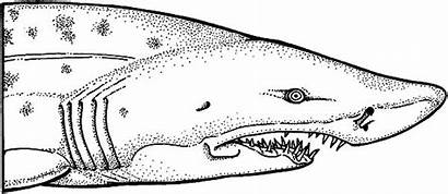 Shark Coloring Jaws Pages