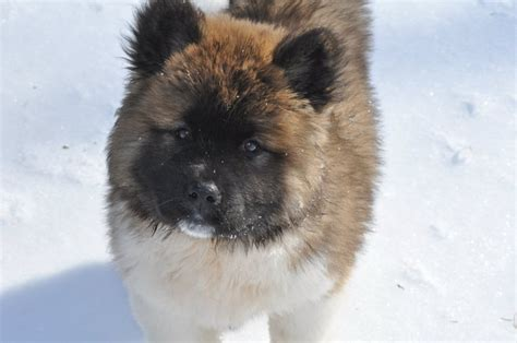 Do Akita Dogs Shed Hair by Haired Akita Puppy Breeds Picture