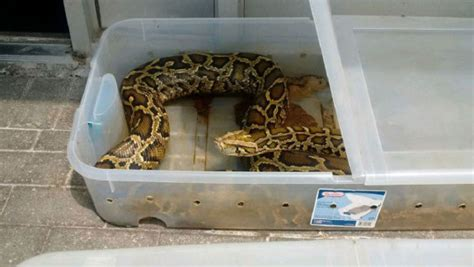 one of two pythons abandoned outside newmarket pet store