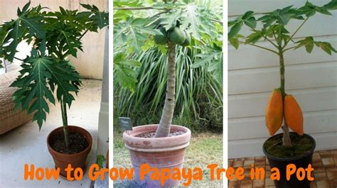 water indoor how to grow papaya in a pot by process